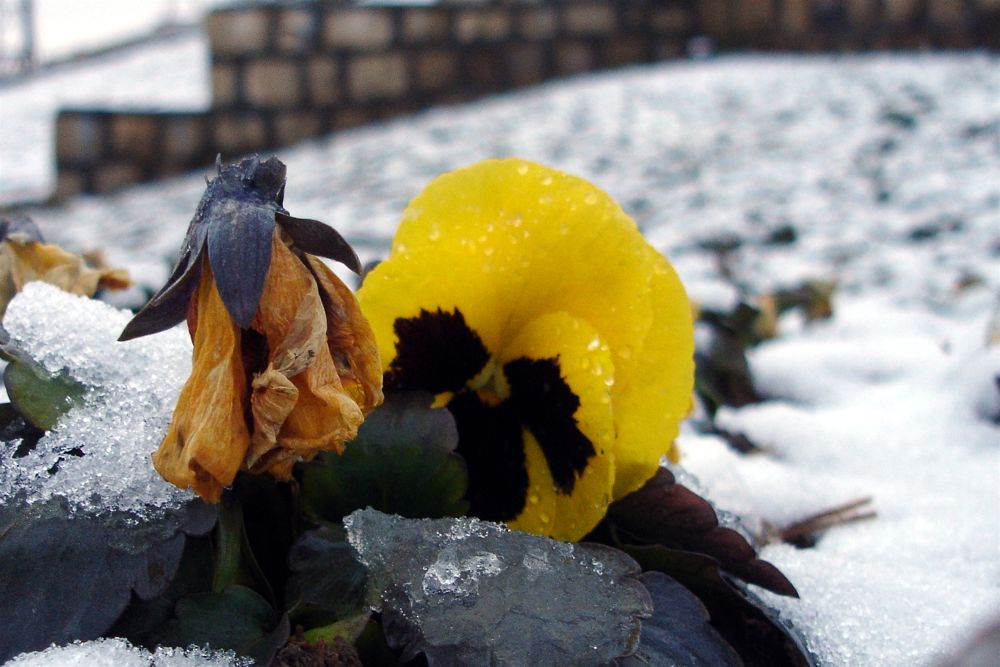 Photo in Nature #snow #yelow #flower