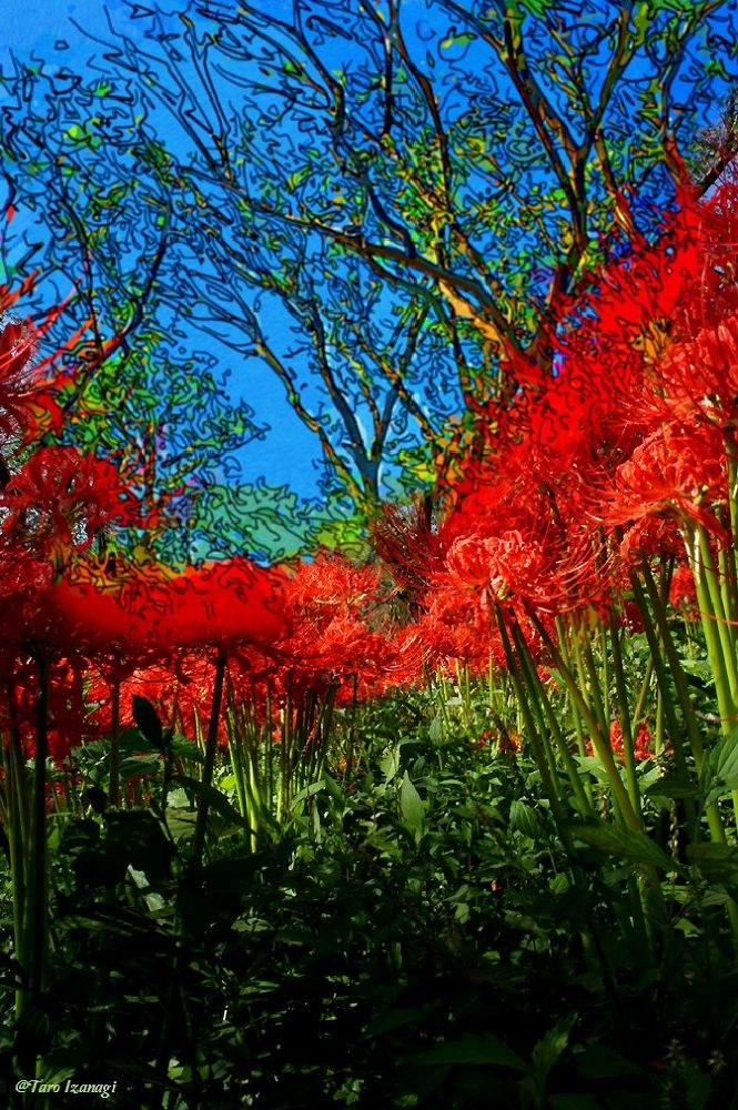 Autumn's face in Japan,cluster amaryllis.  by TaroIzanagi