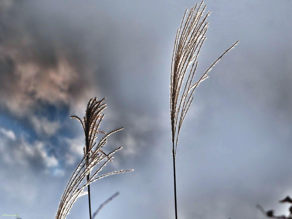 Japanese pampas grass  by TaroIzanagi