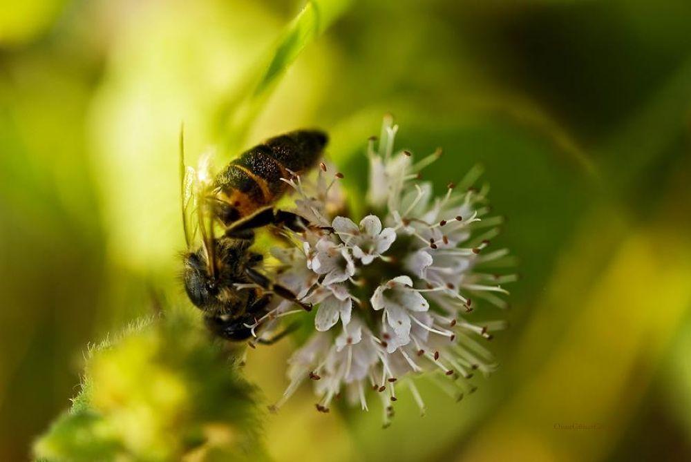 Photo in Macro #bee #flowers #oc0404 #onur #güner #güray #macro