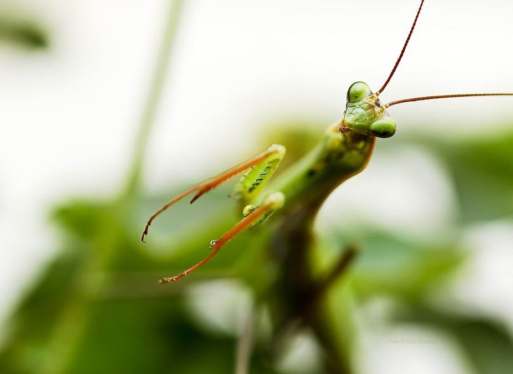 Photo in Macro #mantis religiosa (hello) #oc0404 #peygamber devesi #onur #güner #güray #macro