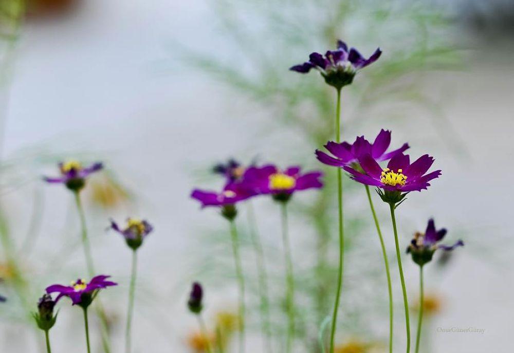 Purple by Onur Güner Güray