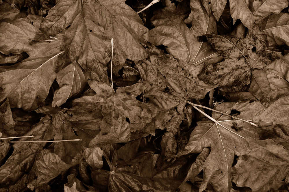 Sepia Leaves by clivescottphoto