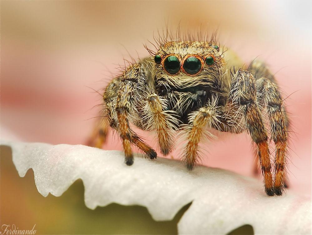Spider jumping  by ferdinando valverde