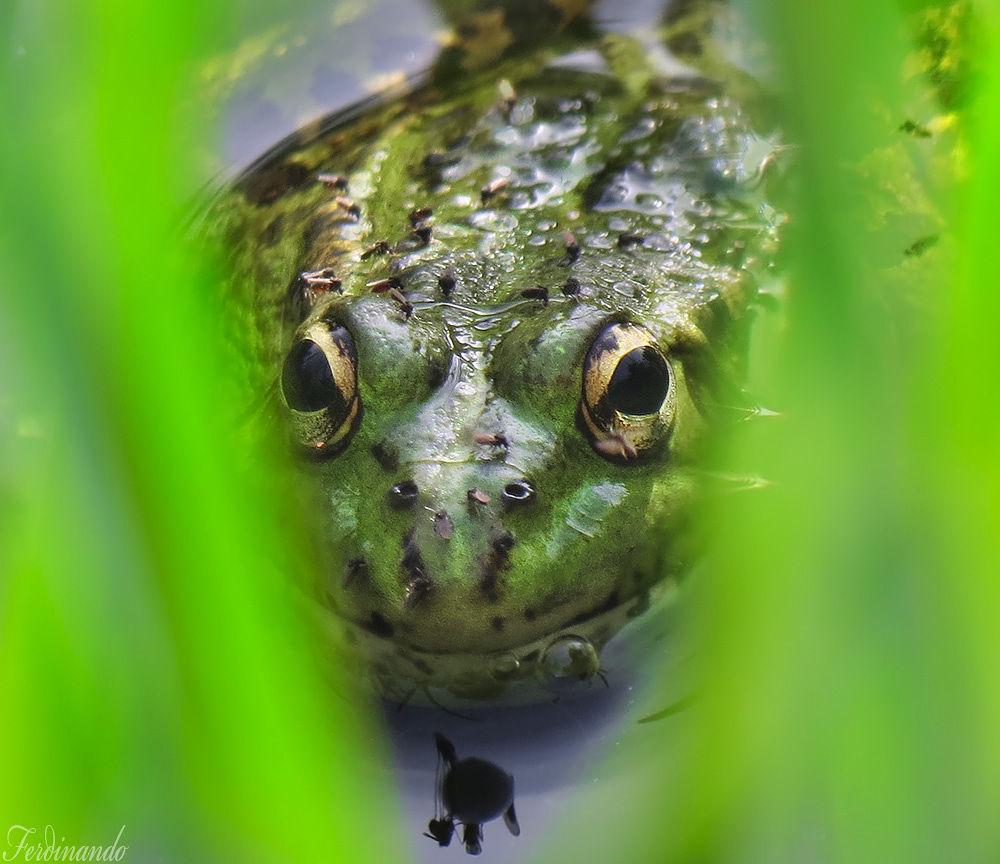 Frog Vermeja Portrait by ferdinando valverde