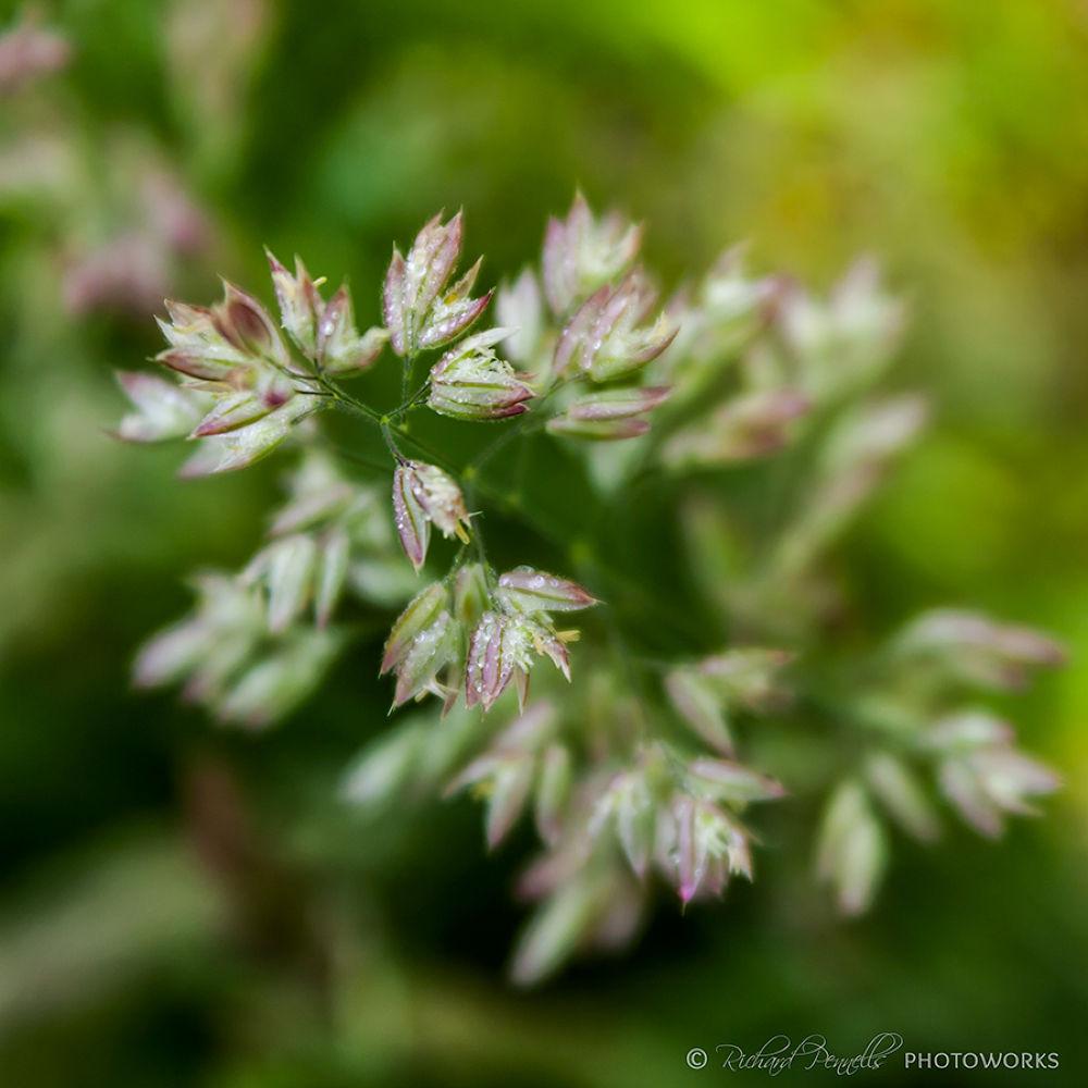 dew covered velvet grasses by tundransnow