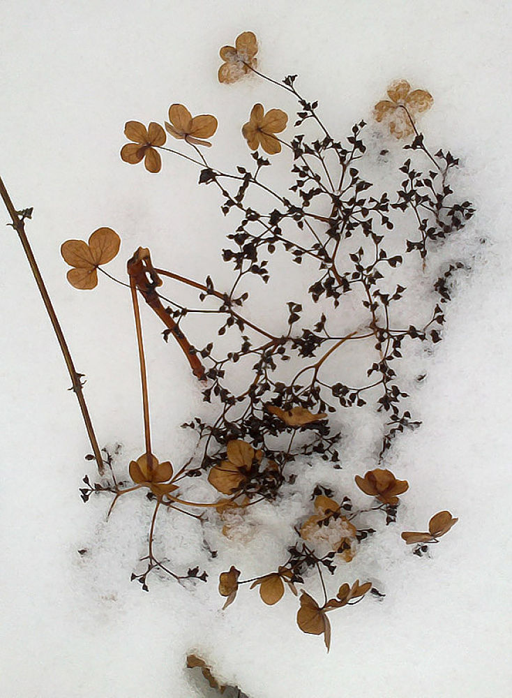 Photo in Macro #flower #snow