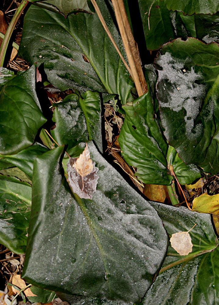 Leaves on Velvet Leaf by Heljä Kostiainen