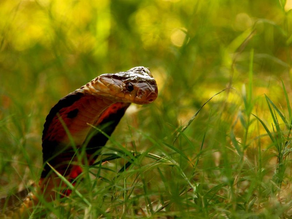 Photo in Nature #cobra #monocellate #monocled #sundarban #sunderban #sundarbans #sunderbans #mangrove #delta #snake #backlight #ground #level #venomous #serpent #ophio #herpetology