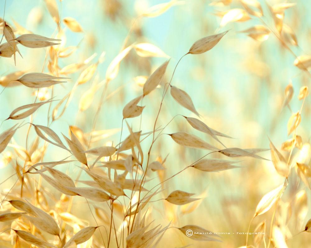 golden barley by Marilo Irimia