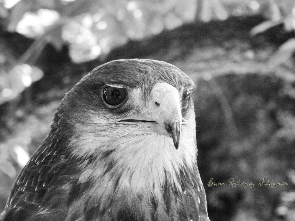 Águila by Lucas Rodriguez