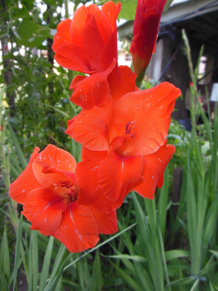 Gladioli by fede