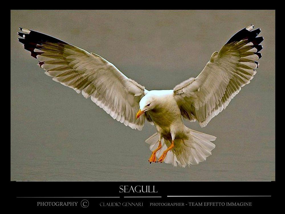 "...""Seagull""... by claudiogennari"