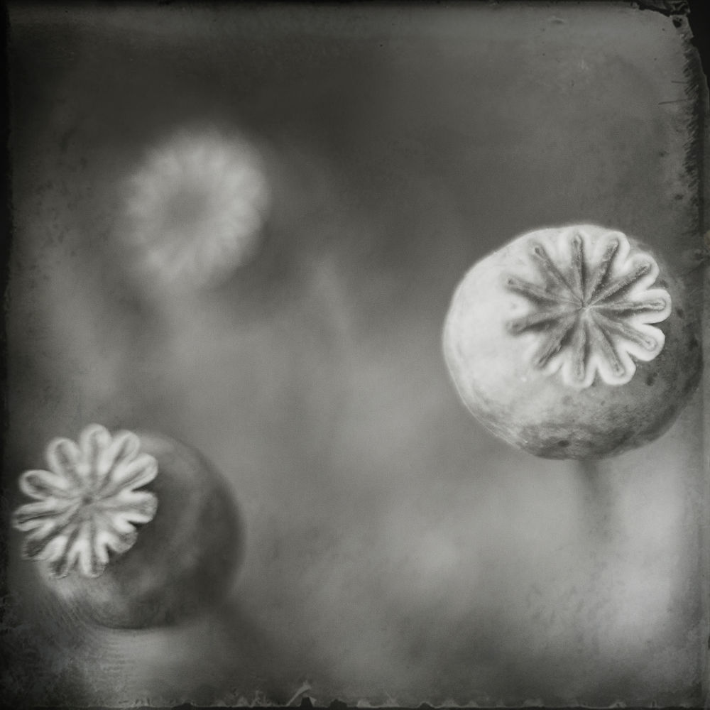 Photo in Black and White #flower #nature #b&w