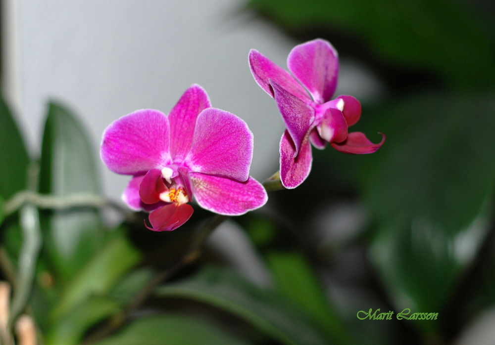 Orchide. by maritlarsson5