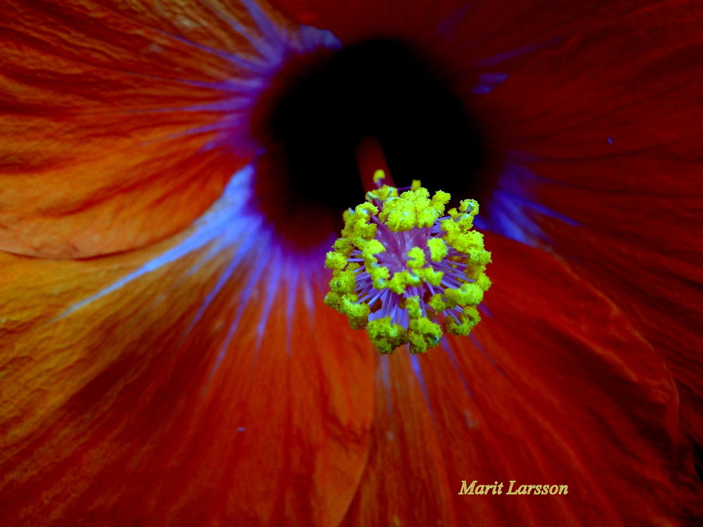 Hibiscus by maritlarsson5
