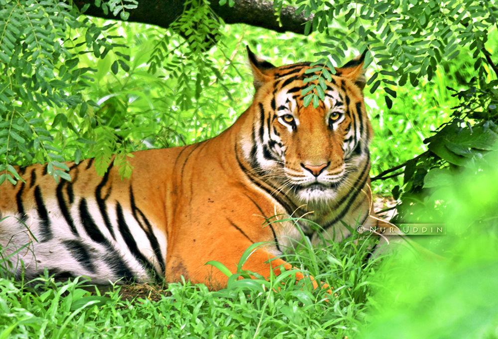 The Royel Bengal Tiger.. by nuruddin562