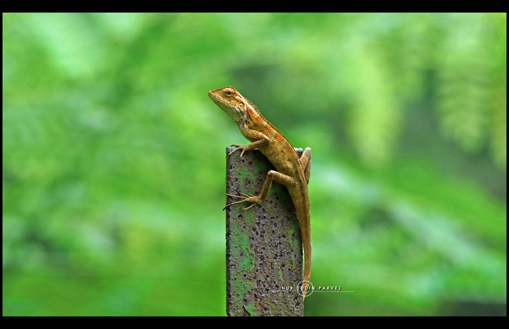 The Lizard.. by nuruddin562