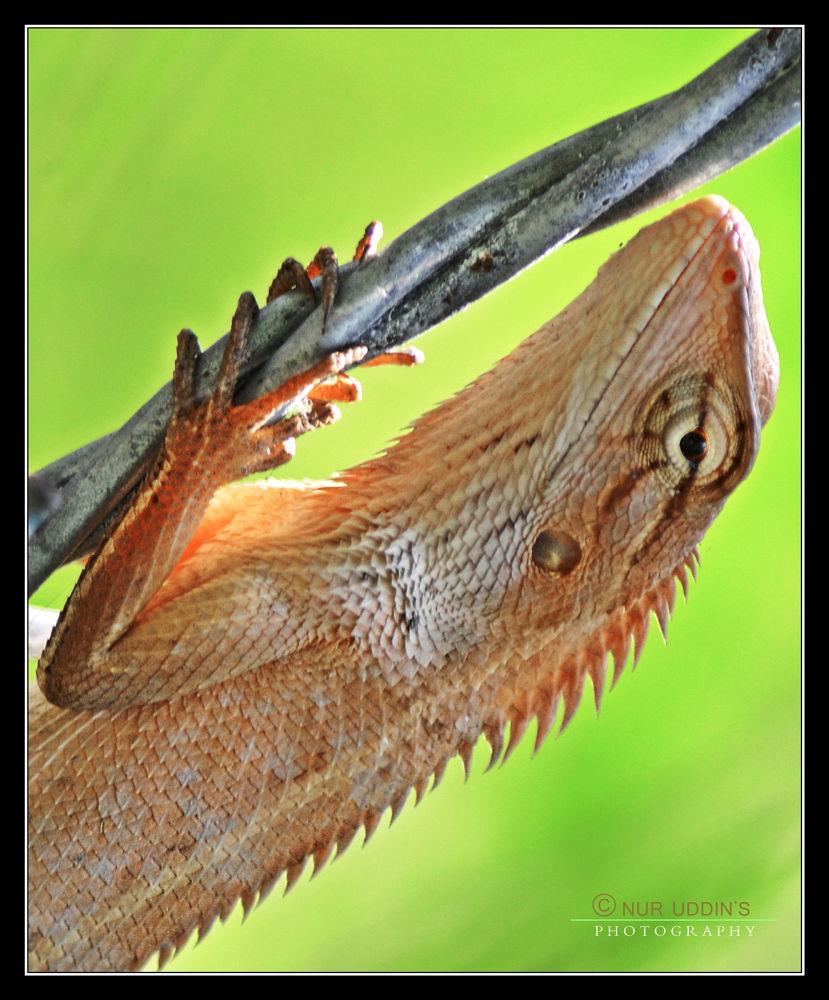 The Oriental Garden Lizard (Calotes versicolor).. by nuruddin562