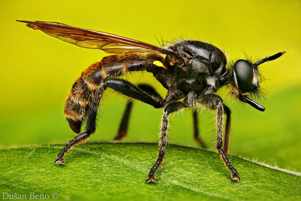 ROBBER FLY by Dusan Beno