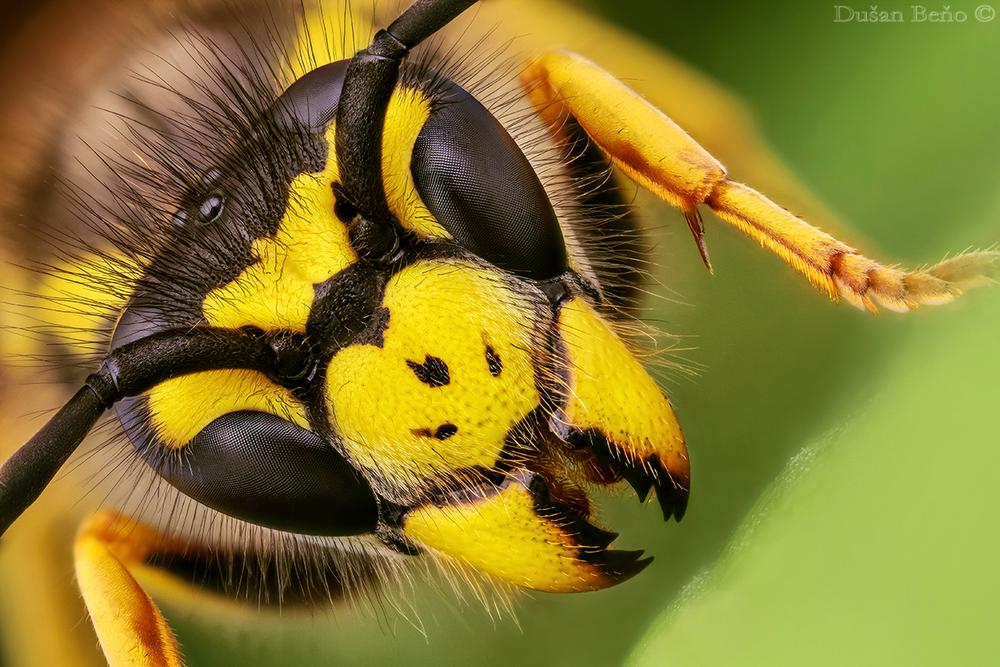 WASP by Dusan Beno