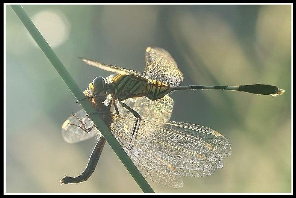predator action morning, green dragonfly eat owlfly by Mulyatna Pakde