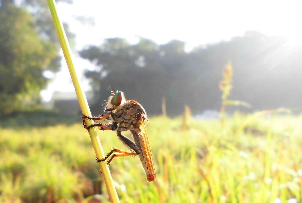 morning robberfly by Mulyatna Pakde