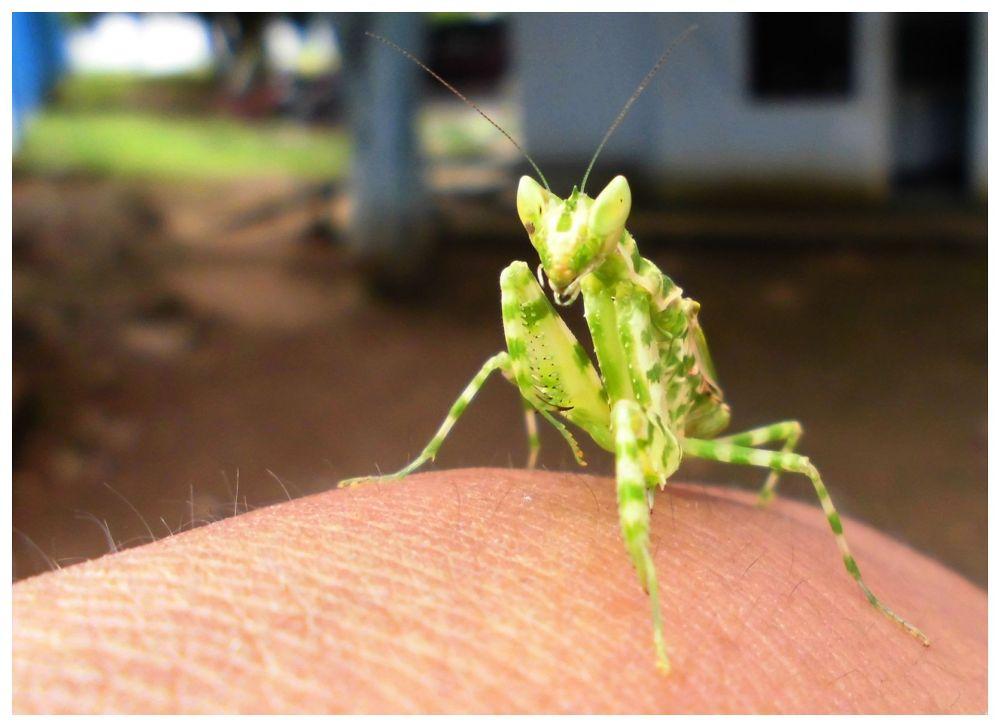 MANTIS ON MY HAND by Mulyatna Pakde