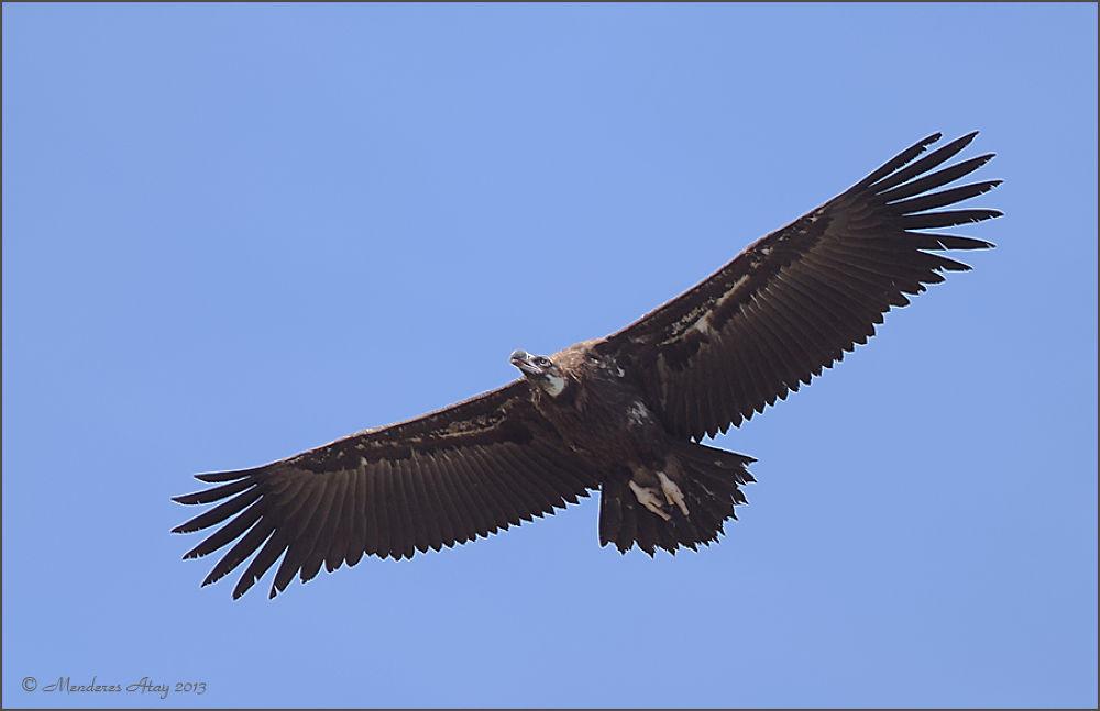 Kara akbaba Cinereous vulture / Aegypius monachus by MenderesAtay14