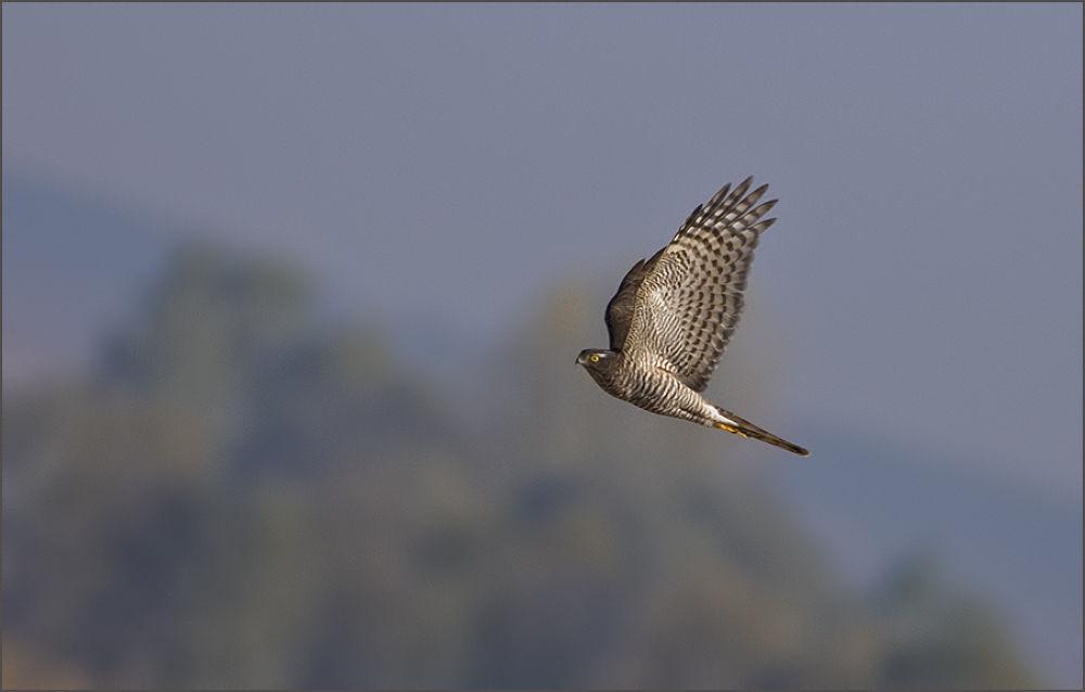 Photo in Random #atmaca eurasian sparrowhawk /