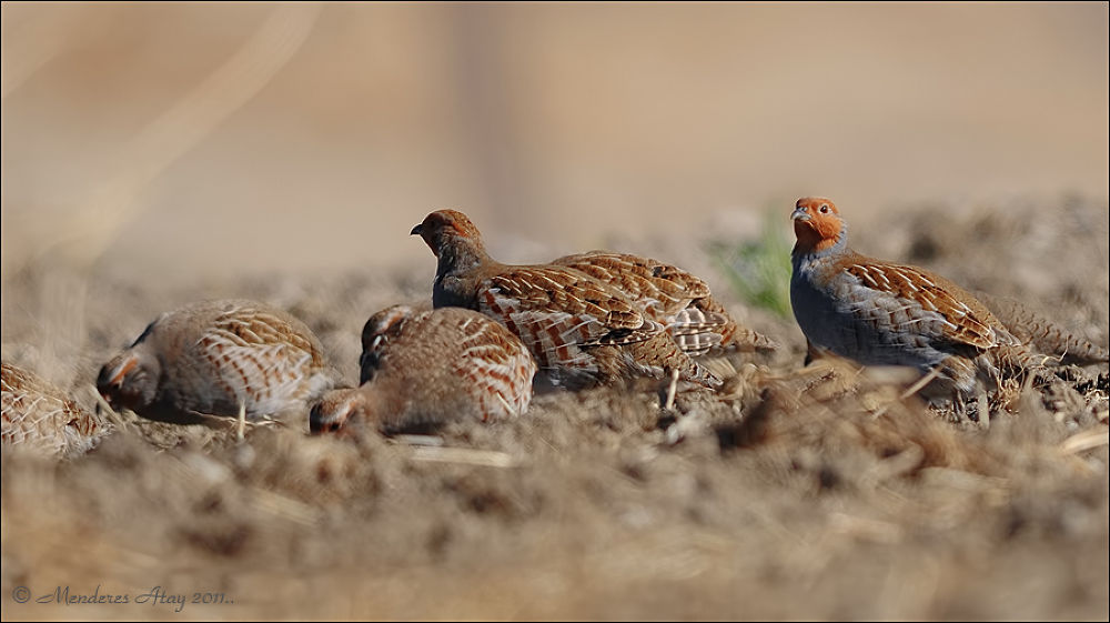 Çilkeklik Grey partridge / Perdix perdix by MenderesAtay14