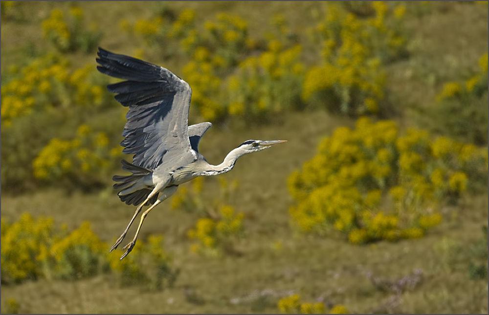 Photo in Random #gri balıkçıl grey heron / arde