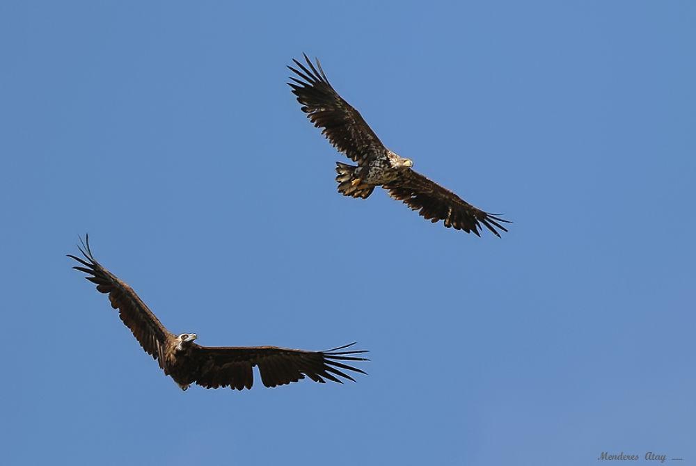 Photo in Random #kara akbaba cinereous vulture