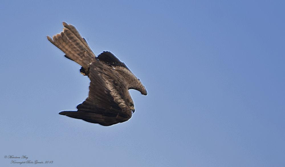 Kara çaylak Black kite / Milvus migrans by MenderesAtay14