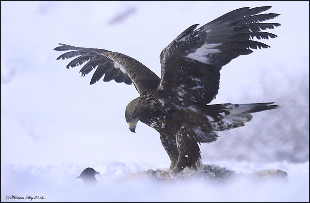 Kaya kartalı Golden eagle / Aquila chrysaetos by MenderesAtay14