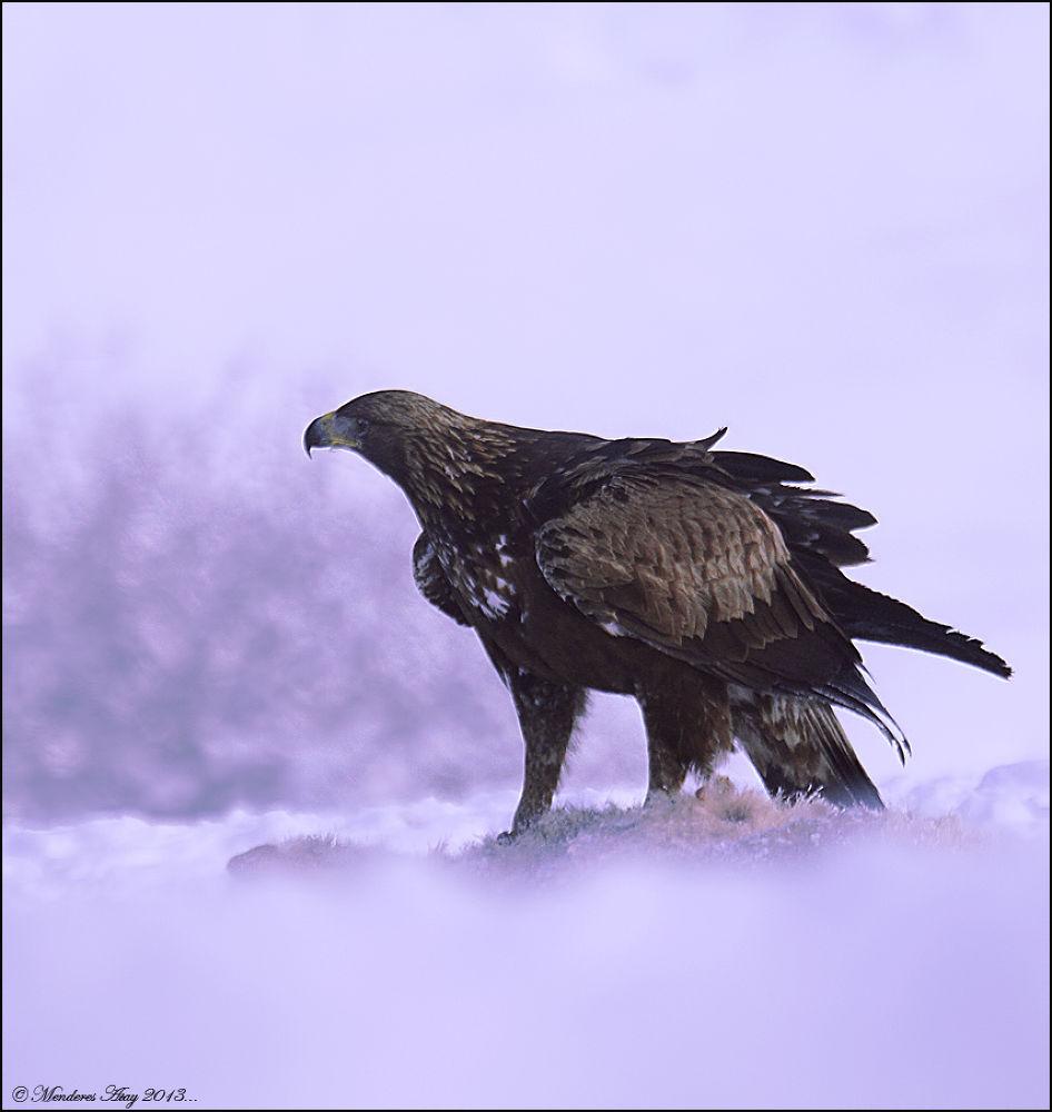 Kaya kartalı » Golden eagle » Aquila chrysaetos by MenderesAtay14