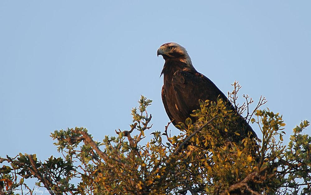 Şah kartal Eastern imperial eagle / Aquila heliaca by MenderesAtay14