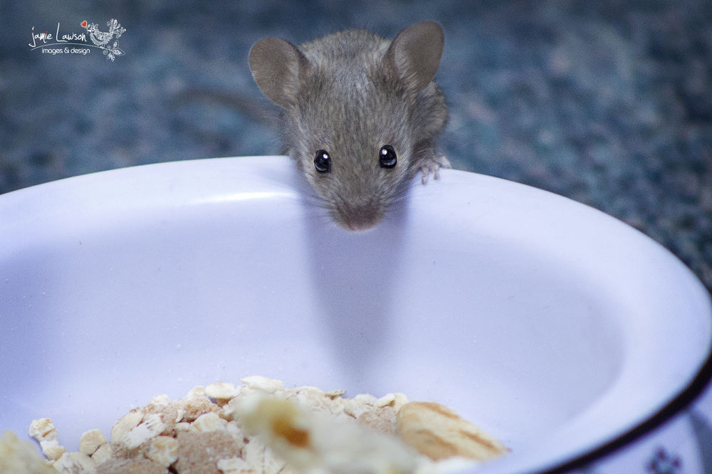 Random mouse in my office by lawsonj123