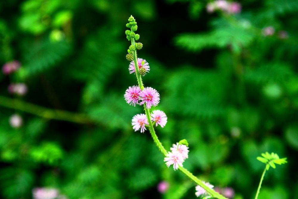 Mimosa by chinhdohoang