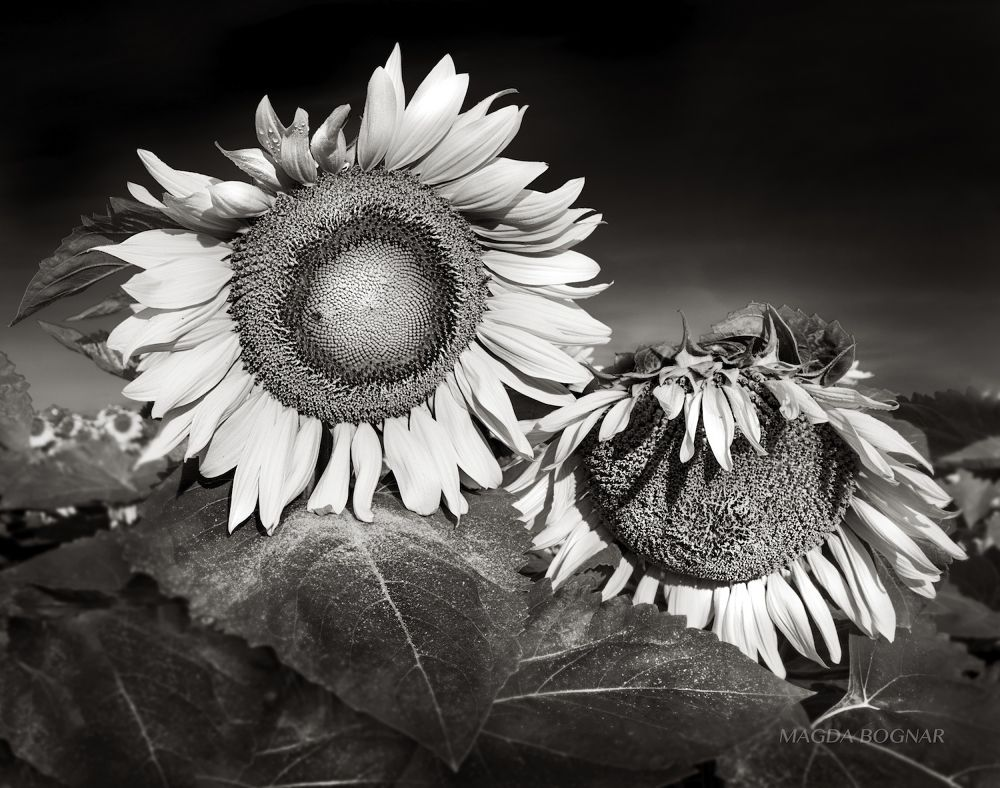 Photo in Nature #sunflower #summer #morning #black & white