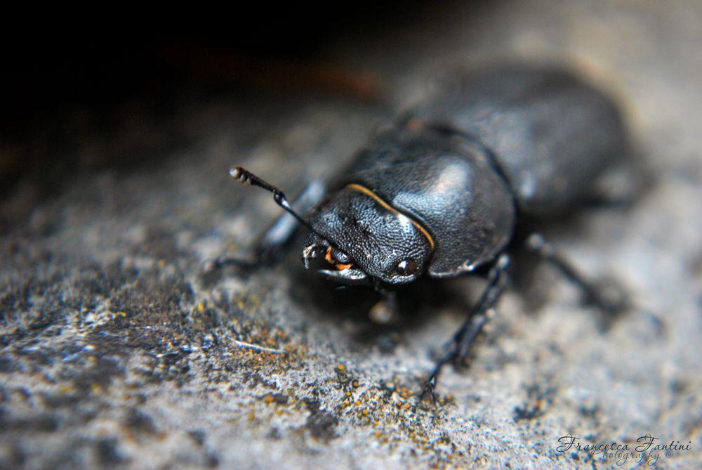 Scarabeo - Beetle by Francesca Fantini