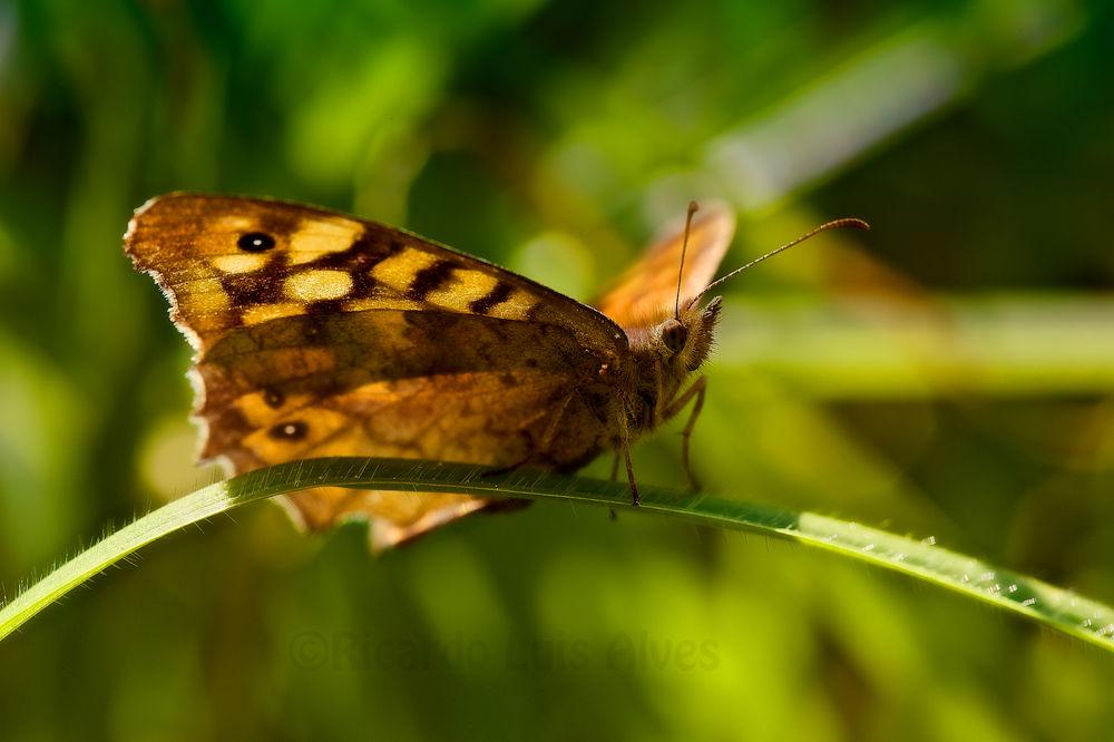 Butterfly by Ricardo Alves