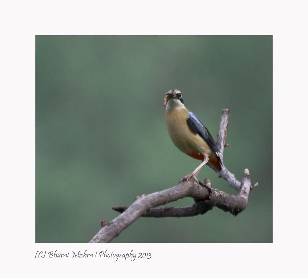 Pitta Birds by Bharat Mishra