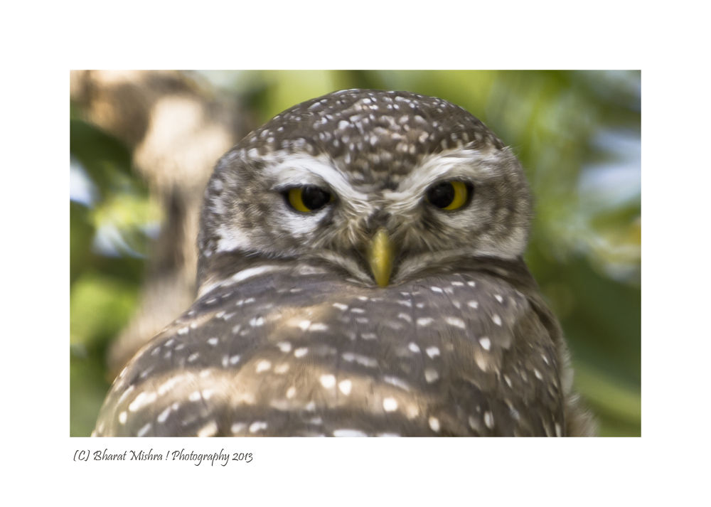 Spotted Owlet by Bharat Mishra