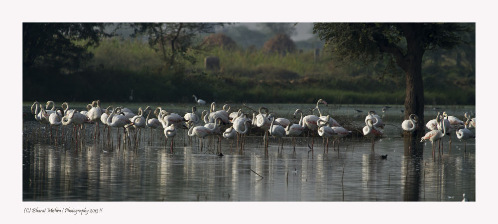 Photo in Animal #lesser flamingo #birds #phoenicopterus minor #jaipur #indian #white birds #pink birds