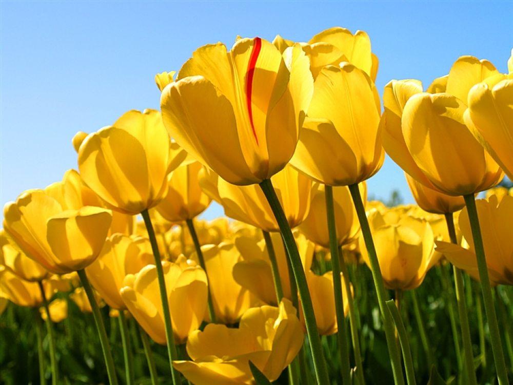 Tulips by karamali