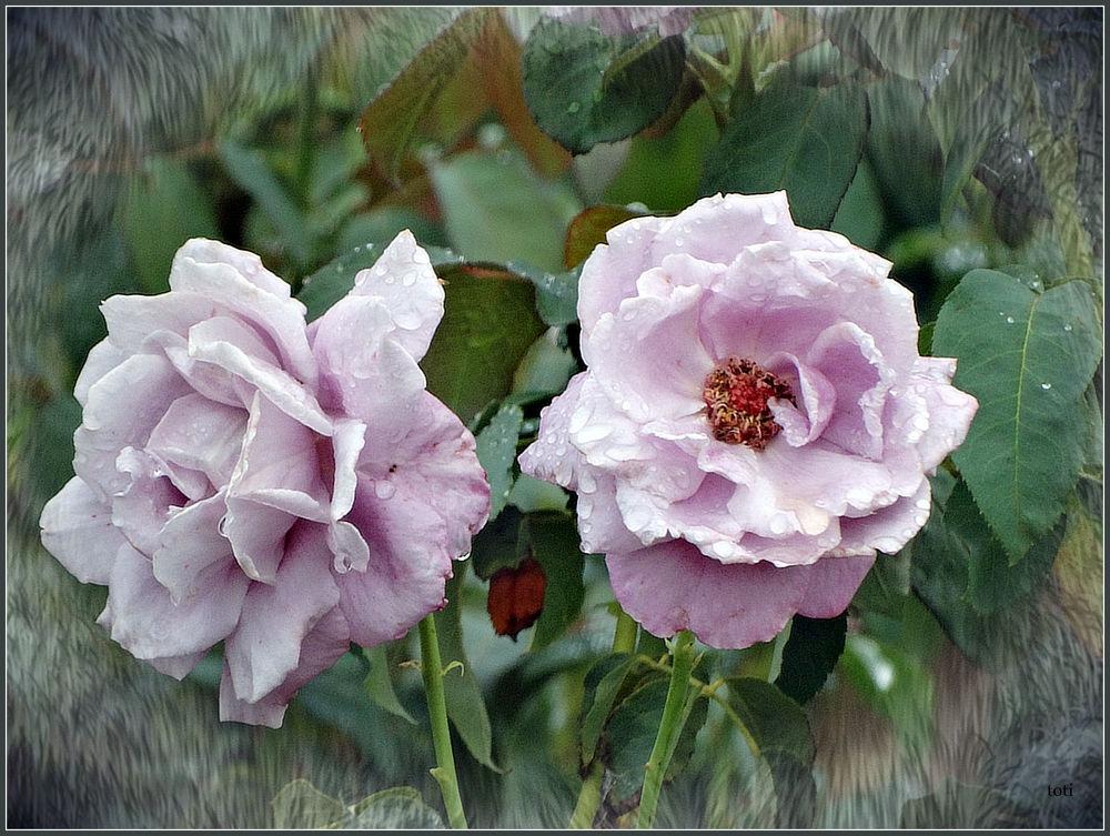 Rosa y violeta. by toti camacho troyano