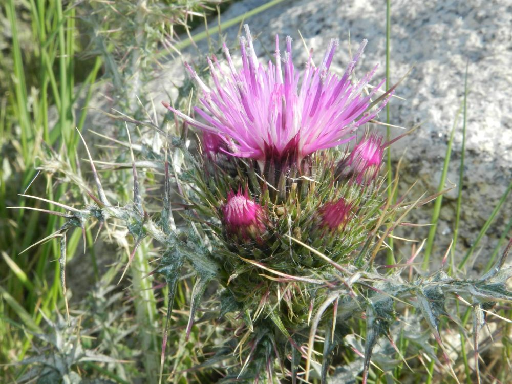 pink flower by paulo antunes