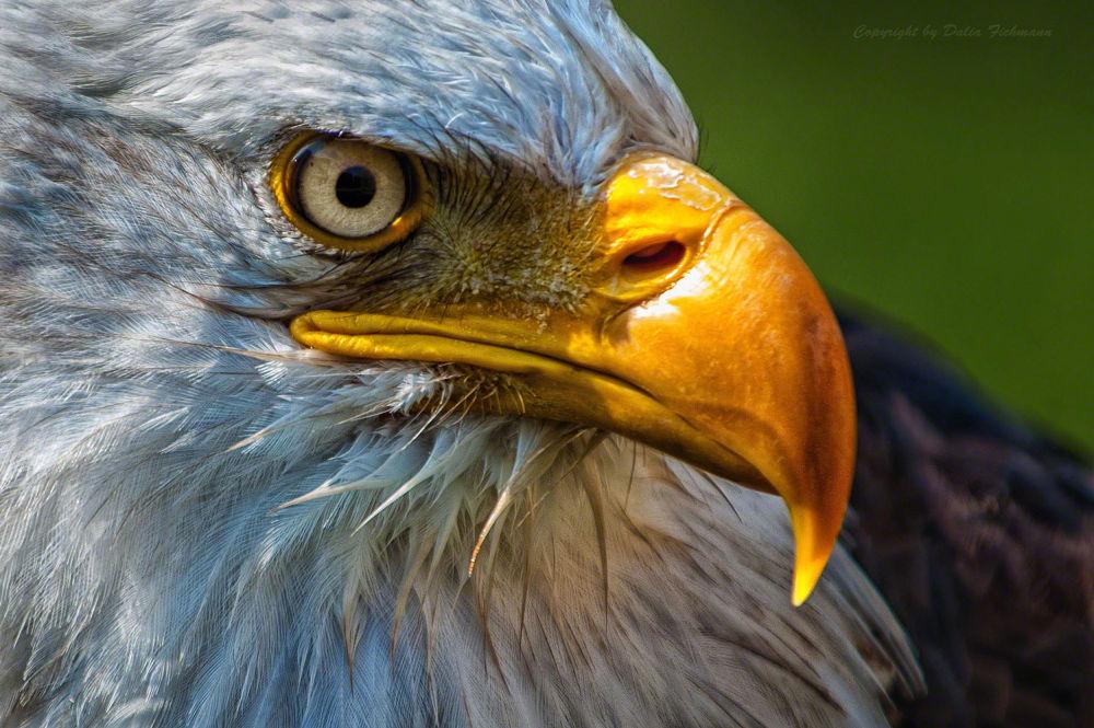 I see you, bald eagle by DaliaFichmann