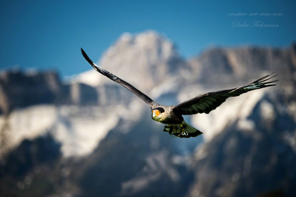 Photo in Animal #karakara #falcon #vulture #bird #bird of prey #dalia fichmann #nikon #creative-art-view #greifvogel #vogel #falke #geier #geierfalke #greifvogel im flug #swiss alps #schweiz #switzerland #flight #flying #flug #fliegen